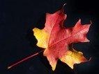 43306755_AutumnLeafonBlack 2